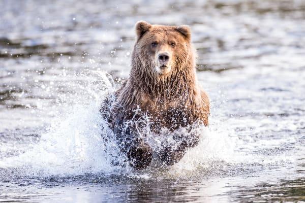 Dinner Run Brown Bear Fishing In Alaska