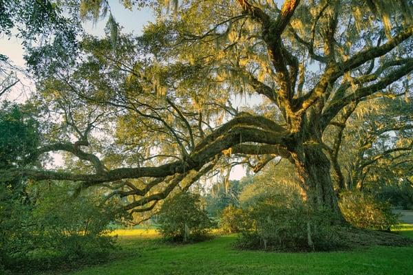 South Carolina Draping Oak