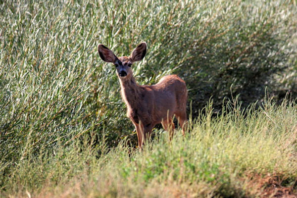 Mule Deer Yearling: Shop prints | Lion's Gate Photography