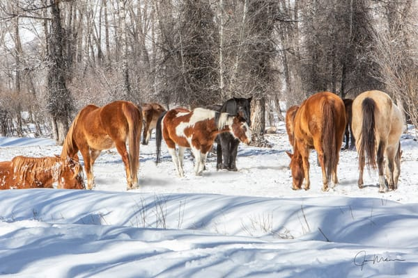 gathered horses, Colorado, snow, winter, morning, woods