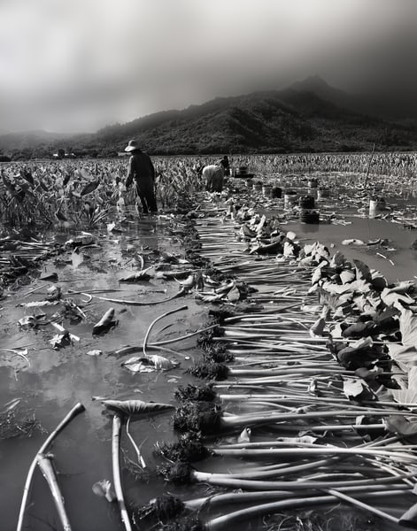 Taro Field Workers Photography Art | Ed Sancious - Stillness In Change