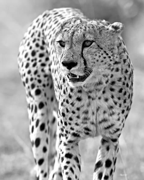 b&w, cheetah