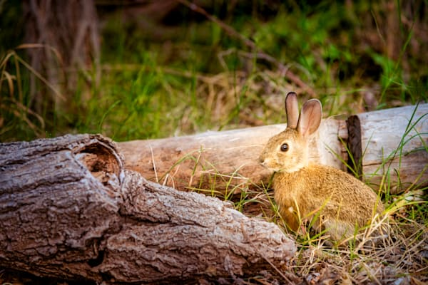 Texas Hill Country Bunny Photography Art | Grace Fine Art Photography by Beth Sheridan