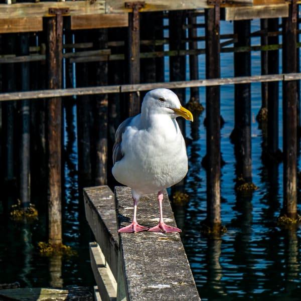 Gull Posing Photography Art | Ron Olcott Photography