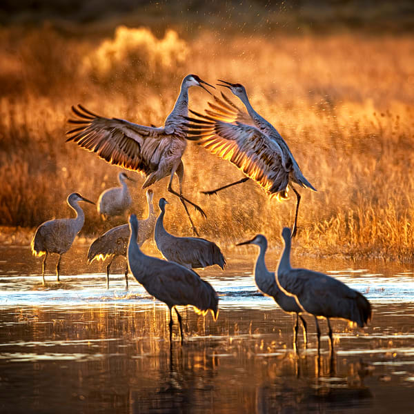 Crane Spat Photography Art | Carol Brooks Parker Fine Art Photography