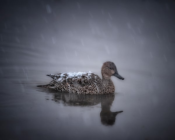 Duck On A Lake In The Snow Photography Art | Carol Brooks Parker Fine Art Photography