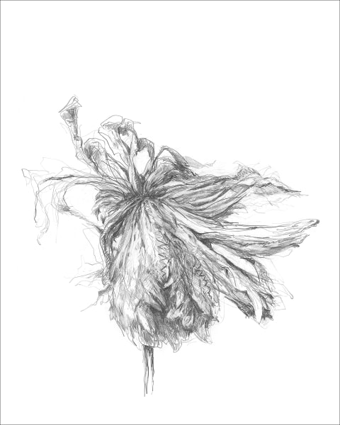 Chrysanthemum 05, a frazzled series for frazzled times. Graphite drawings by Kim Gatesman.