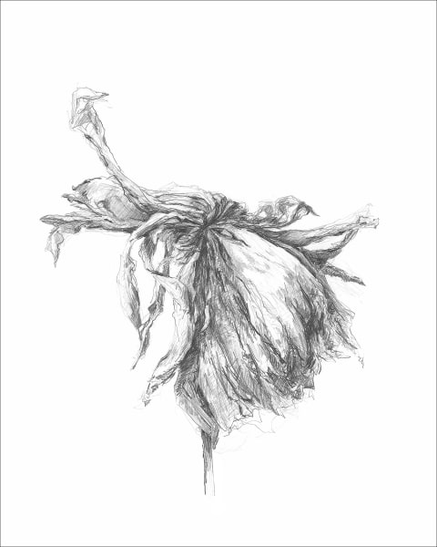 Chrysanthemum 07, a frazzled series for frazzled times. Graphite drawings by Kim Gatesman.