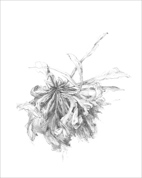 Chrysanthemum 09, a frazzled series for frazzled times. Graphite drawings by Kim Gatesman.
