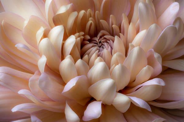 Blushing Mum flower.