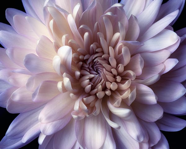 Lavender Cream Spider Mum Art | James Patrick Pommerening Photography