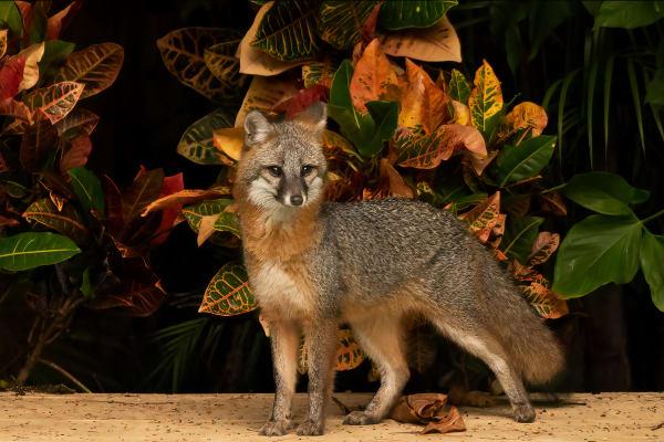 Spendid Fox Photography Art   nancyney