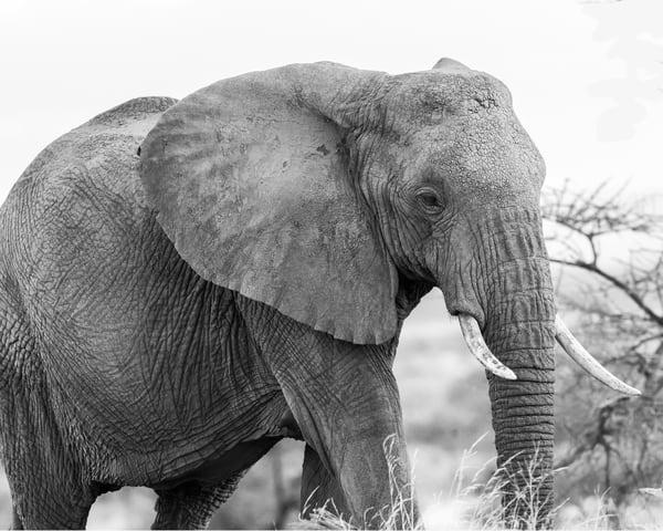 African, Elephant, B&W