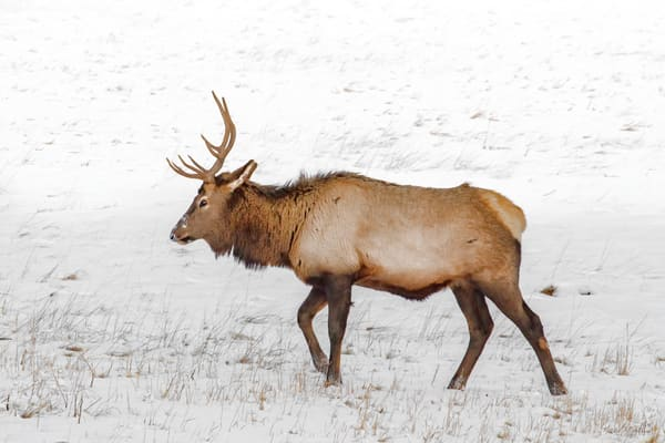 Rmnp Snow Elk High Key0632 C20  Art | Koral Martin Fine Art Photography