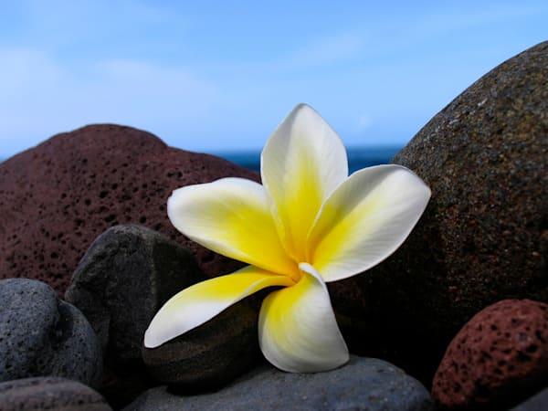 Plumeria On The Rocks | Aa013 Art | Pictures Plus