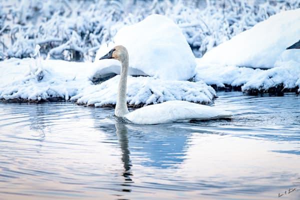 Winter Swan Art | Alaska Wild Bear Photography
