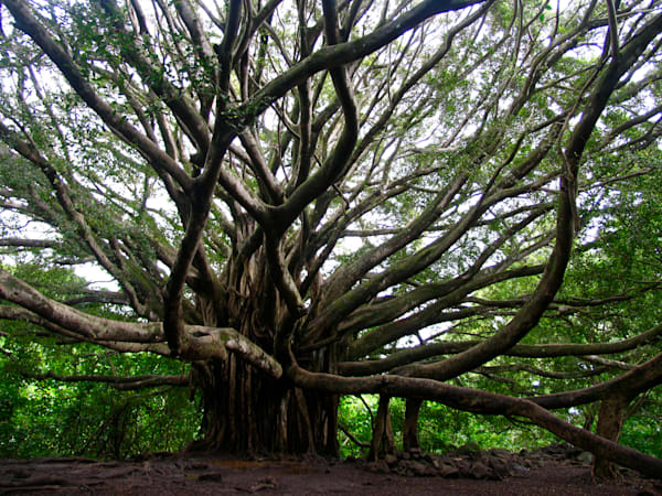 The Banyan Tree | Aa017 Art | Pictures Plus