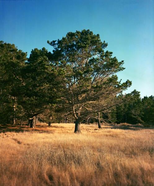 California Landscape Photography - Monterey Pine, Point Lobos