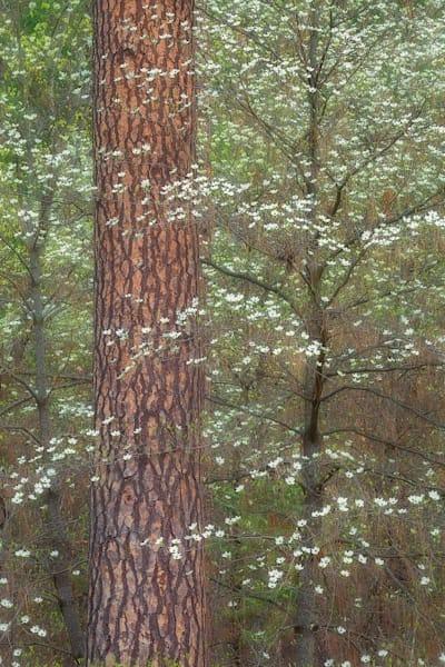 Dogwood And Pine Photography Art | Charlotte Gibb Photography