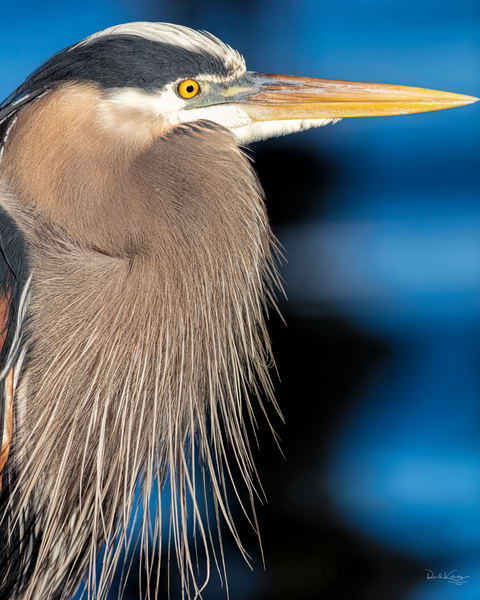A Portrait of a Great Blue Heron 2