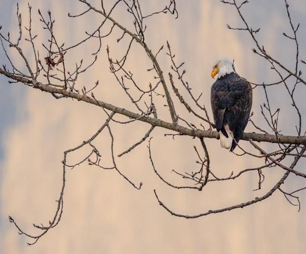 Bald Eagle And Half Dome Photography Art | Charlotte Gibb Photography