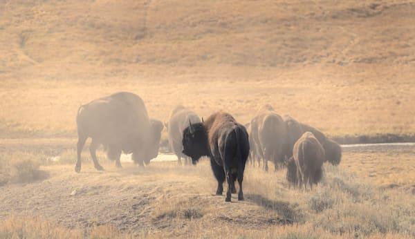 Bison Herd Photography Art | Charlotte Gibb Photography