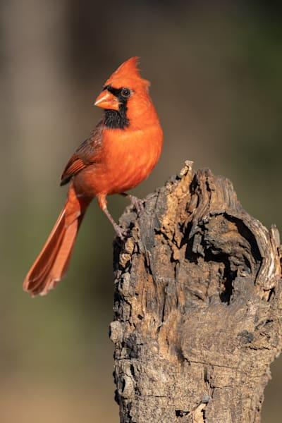 Northern Cardinal perched on a log