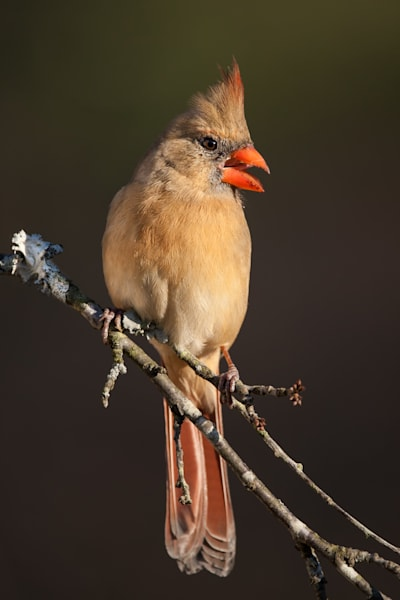Northern Cardinal Photography Art | Matt Cuda Nature Photography