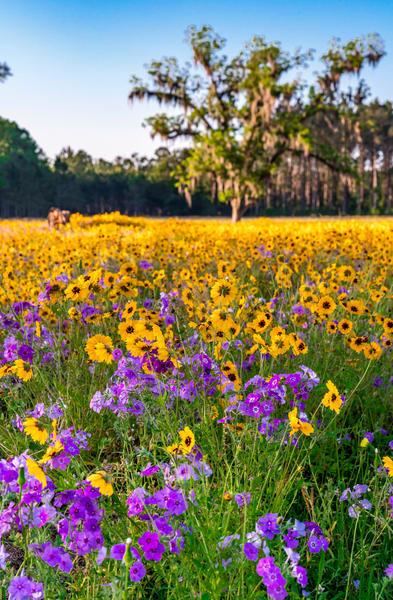 Flower Fields Forever Photography Art | kramkranphoto