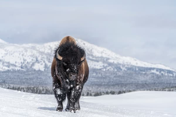 Bison in Snow- Yellowstone