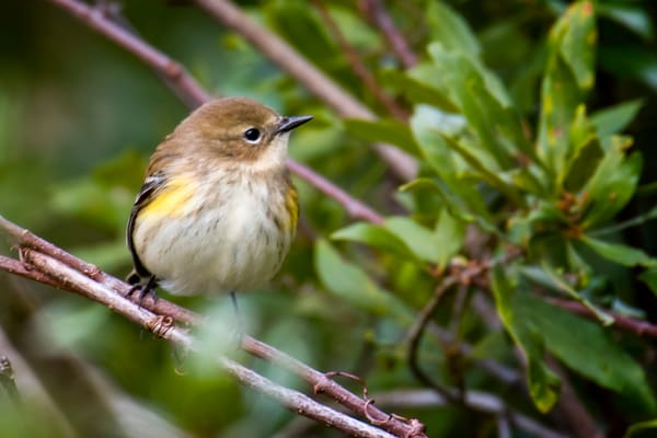Yellow Rumped Warbler in Bush