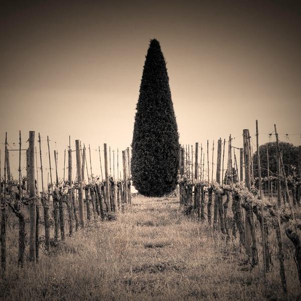 Cypress in the Vineyard