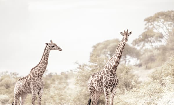 giraffe fine art photography by t-gonzalez
