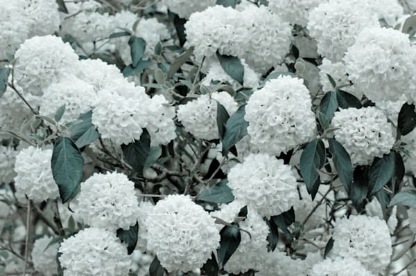 White Hydrangea No. 1 Art | Anna Jaap Studio