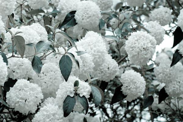 White Hydrangea No. 2 Art | Anna Jaap Studio