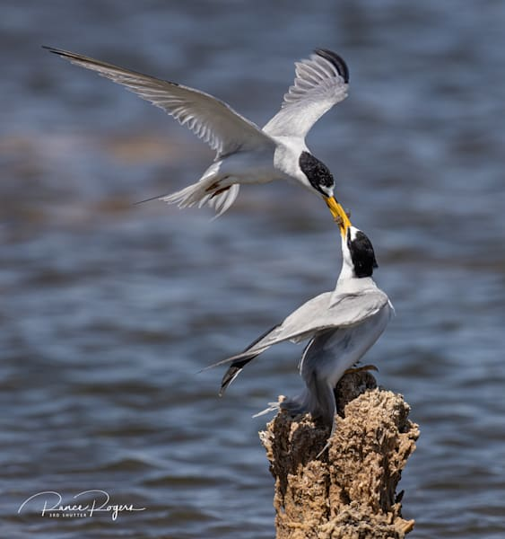 Special Delivery A Terns Turn