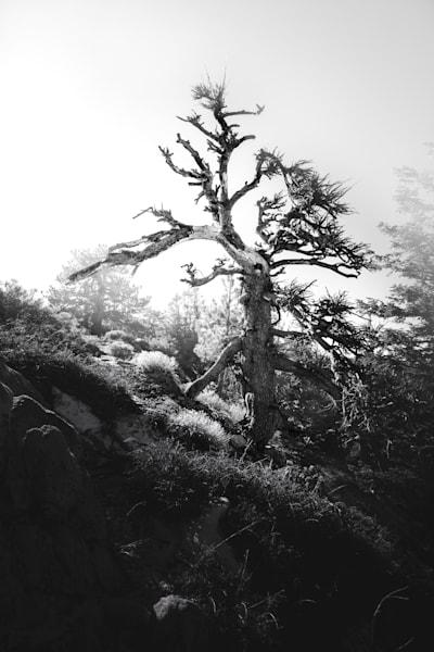 Bristlecone Pine Photography Art | Sydney Croasmun Photography