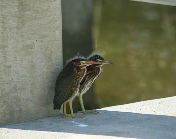 Adolescent Green Herons Photography Art | It's Your World - Enjoy!