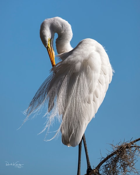 The Elegance of the Great White Egret