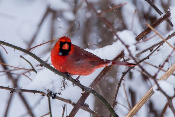 Dressed in Winters Red Cardinal
