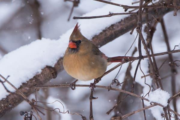 Winter Watch female cardinal