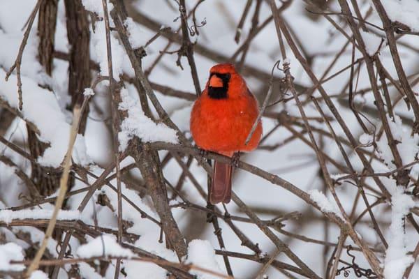 watching cardinal guard branch snow