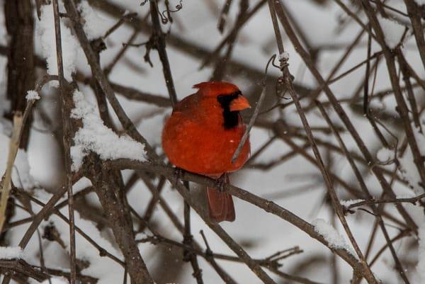 cardinal bird guard patrol winter snow