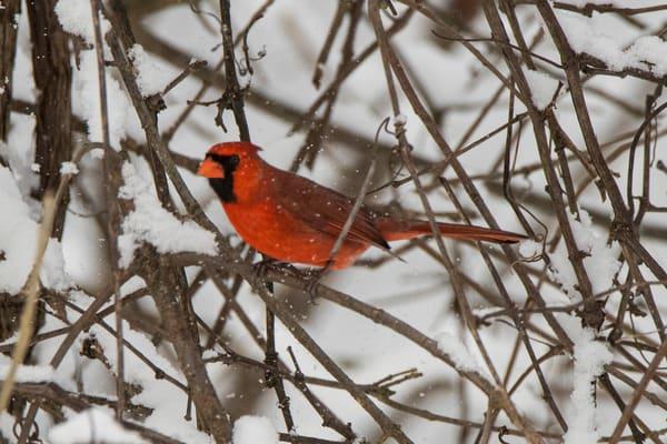 winter guard cardinal snow branches