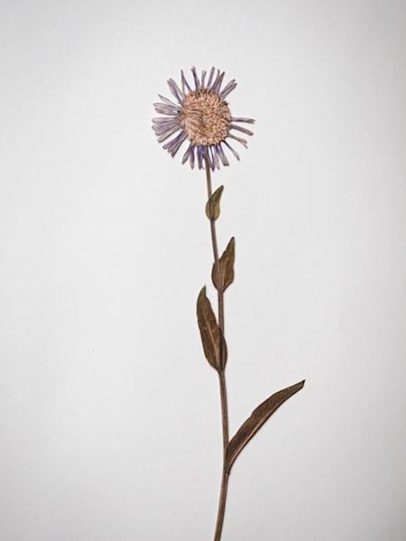 Nathan Larson Fine Art Photography | Pressed Flowers | Stilllifes