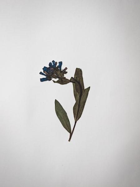 Pressed XI | Pressed Flower Still Life Fine Art Prints | Nathan Larson Photography