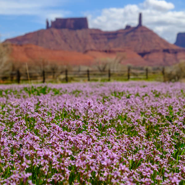 Wildflowers bloom in Castle Valley near Moab, Utah USA