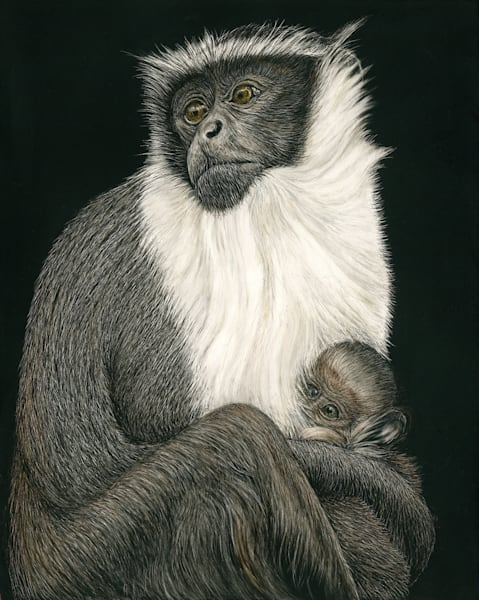Roloway Monkey - Kathy Huberland