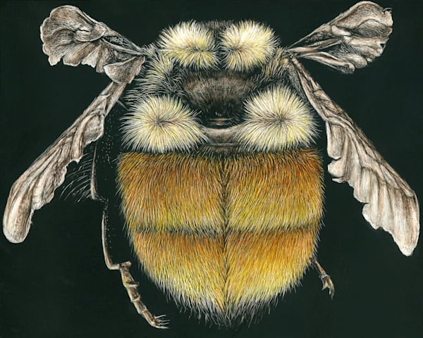 Rusty Patched Bumble Bee - Kathy Huberland