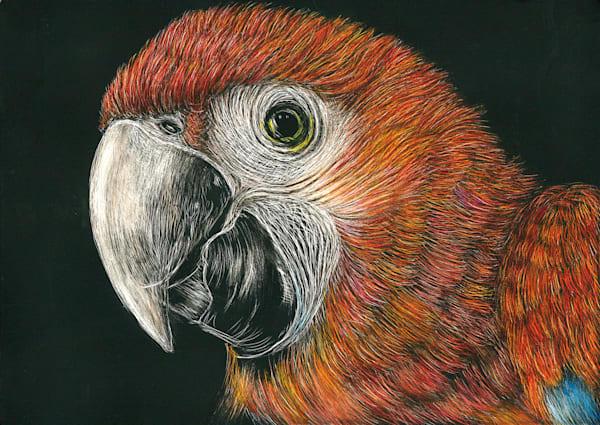 Scarlet Macaw - Kathy Huberland